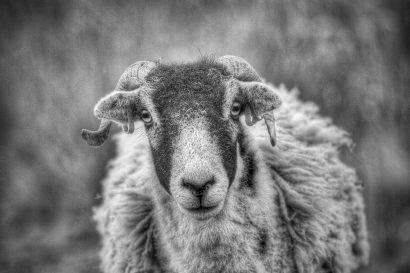staring-sheep.jpg