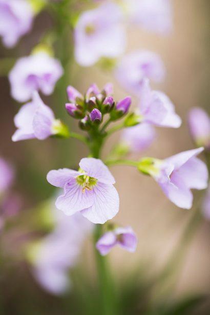 cuckoo-flower.jpg